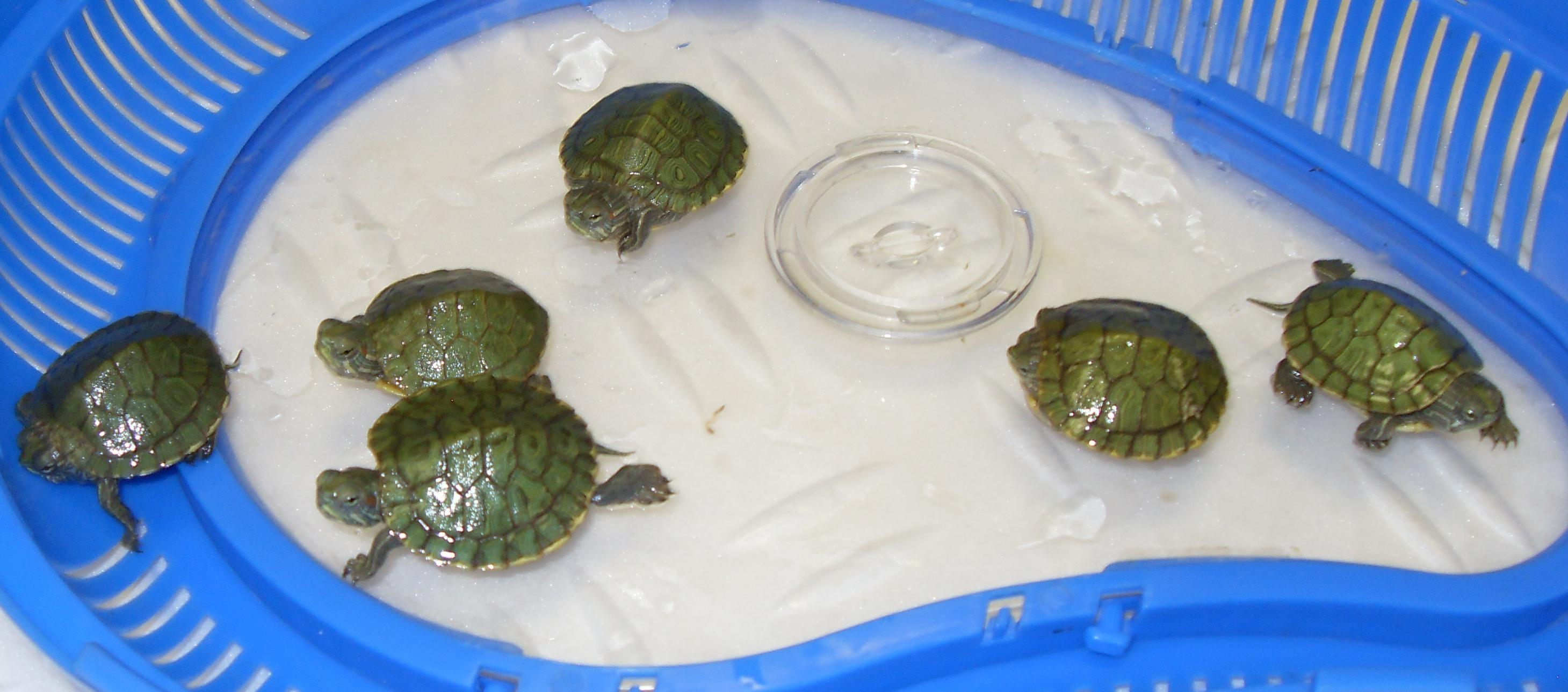 Домашняя черепаха красноухая уход в домашних условиях фото